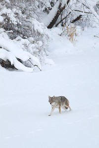 Coyote called in St  Louis River Fond du Lac Duluth MN IMG_1384