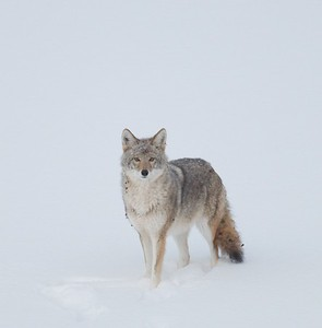 Coyote called in St  Louis River Fond du Lac Duluth MN IMG_1428