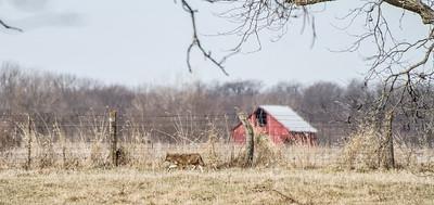 Coyote at Nana's Farm Galesburg ILIMG_1149