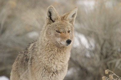 Coyotes are opportunistic. This beautiful specimen was alerted to a road-killed rabbit by scavenging magpies [February; Antelope Island, Great Salt Lake, Utah]