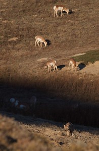 Coyote and Pronghorns Teddy Roosevelt National Park ND IMG_5712