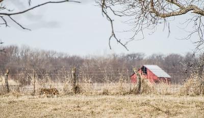 Coyote at Nana's Farm Galesburg ILIMG_1151