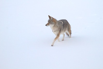 Coyote called in St  Louis River Fond du Lac Duluth MN IMG_1401