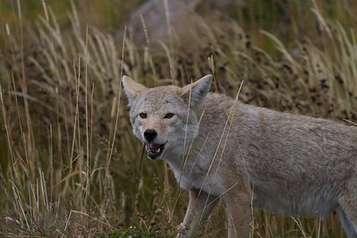 One mouse or vole won't fill the belly of a hungry Coyote, but many will [September; Yellowstone National Park, Wyoming]