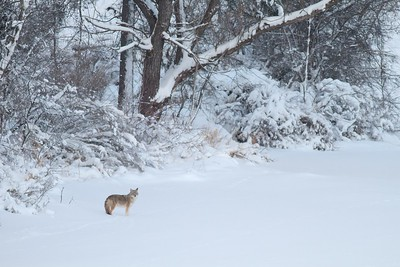 Coyote called in St  Louis River Fond du Lac Duluth MN IMG_1446