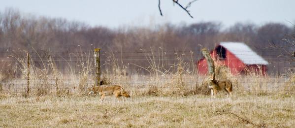 Coyote at Nana's Farm Galesburg ILIMG_1147