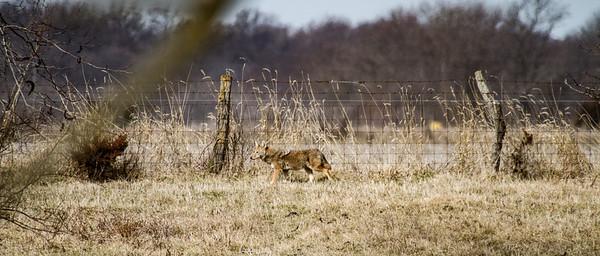 Coyote at Nana's Farm Galesburg ILIMG_1142