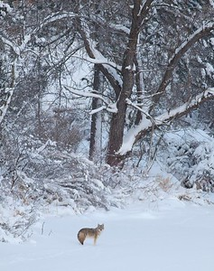 Coyote called in St  Louis River Fond du Lac Duluth MN IMG_1439