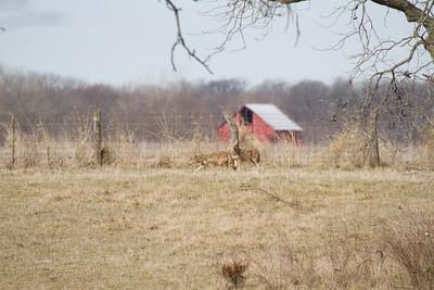 Coyote at Nana's Farm Galesburg ILIMG_1146