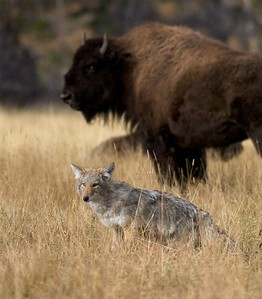 One of a pair of Coyote hunting voles (Meadow Voles?) in a Yellowstone meadow amongst a herd of Bison. Did the Bison kick up rodents for the Coyotes? [October; Yellowstone National Park, Wyoming]