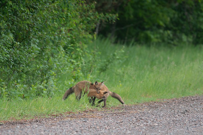 Red Fox trio of pups kits near Paradise Road Carlton County MN  DSC03292
