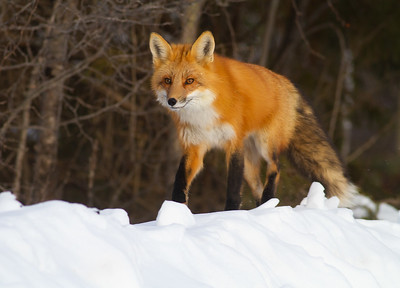 Red Fox hunting off CR29 Racek Road Sax-Zim Bog MN IMG_0106