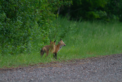 Red Fox trio of pups kits near Paradise Road Carlton County MN  IMG_6163