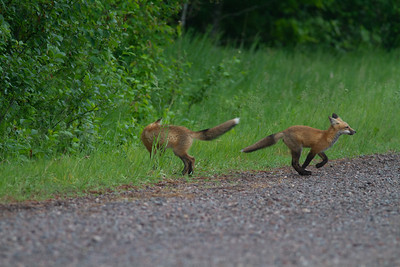 Red Fox trio of pups kits near Paradise Road Carlton County MN  IMG_6171