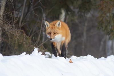 Red Fox hunting off CR29 Racek Road Sax-Zim Bog MN IMG_0103