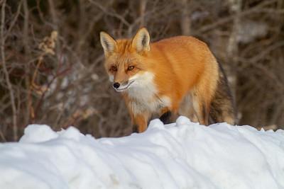 Red Fox hunting off CR29 Racek Road Sax-Zim Bog MN IMG_0111
