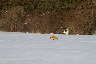 Red Fox leaping pouncing hunting off CR29 Racek Road Sax-Zim Bog MN IMG_0145