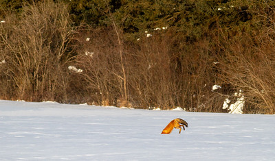 Red Fox leaping pouncing hunting off CR29 Racek Road Sax-Zim Bog MN IMG_0150