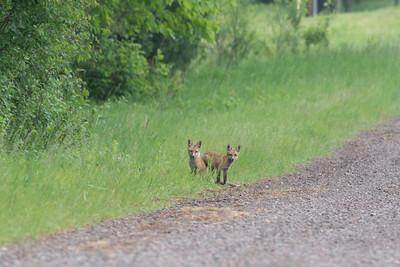 Red Fox trio of pups kits near Paradise Road Carlton County MN  DSC03105