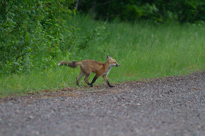 Red Fox trio of pups kits near Paradise Road Carlton County MN  IMG_6151