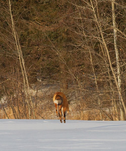 Red Fox leaping pouncing hunting off CR29 Racek Road Sax-Zim Bog MN IMG_0123