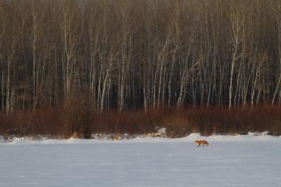 Red Fox hunting off CR29 Racek Road Sax-Zim Bog MN IMG_0165