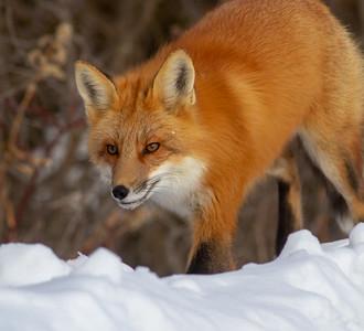 Red Fox hunting off CR29 Racek Road Sax-Zim Bog MN IMG_0112