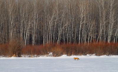 Red Fox hunting off CR29 Racek Road Sax-Zim Bog MN IMG_0161