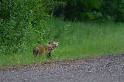 Red Fox trio of pups kits near Paradise Road Carlton County MN  IMG_6169