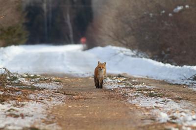 Red Fox hunting off CR29 Racek Road Sax-Zim Bog MN IMG_0122