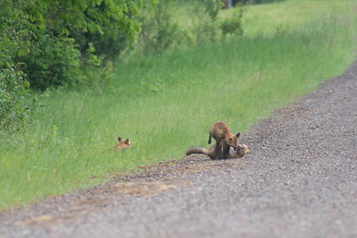 Red Fox trio of pups kits near Paradise Road Carlton County MN  DSC03153