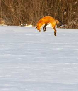 Red Fox leaping pouncing hunting off CR29 Racek Road Sax-Zim Bog MN IMG_0148