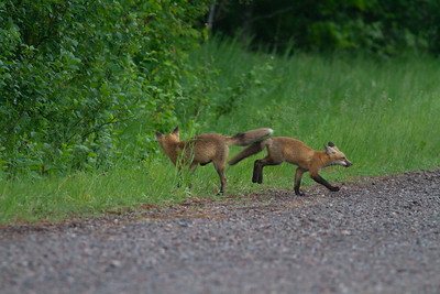 Red Fox trio of pups kits near Paradise Road Carlton County MN  IMG_6170