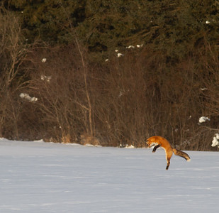 Red Fox leaping pouncing hunting off CR29 Racek Road Sax-Zim Bog MN IMG_0146