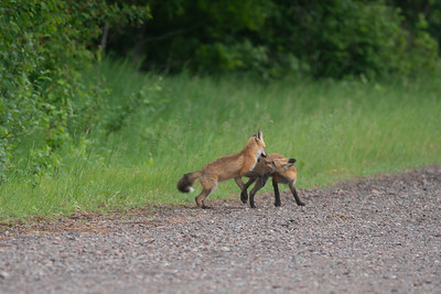 Red Fox trio of pups kits near Paradise Road Carlton County MN  DSC03314