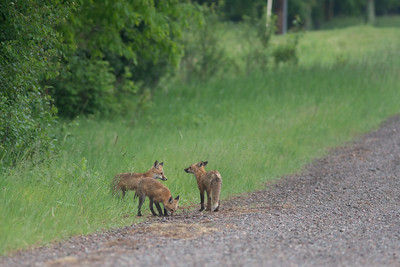Red Fox trio of pups kits near Paradise Road Carlton County MN  DSC03198