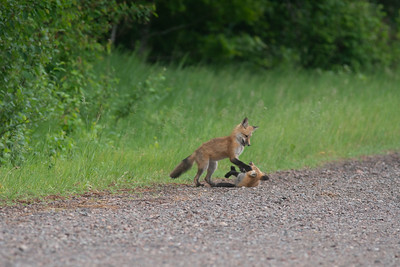 Red Fox trio of pups kits near Paradise Road Carlton County MN  DSC03310