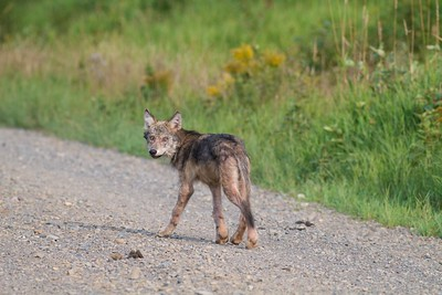 Timber Wolf pup off Arrowhead Trail near N Swamp River Cook Co MN T5184x3456-15781