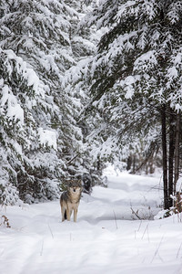 Timber Wolf CR52-Arkola Road just west of Cotton Sax-Zim Bog MN  IMGC5992