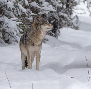 Timber Wolf CR52-Arkola Road just west of Cotton Sax-Zim Bog MN  IMGC5984