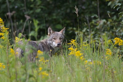 Timber Wolf Canis lupus along US53 near Twig MN IMG_5746