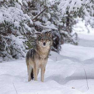 Timber Wolf CR52-Arkola Road just west of Cotton Sax-Zim Bog MN  IMGC5973