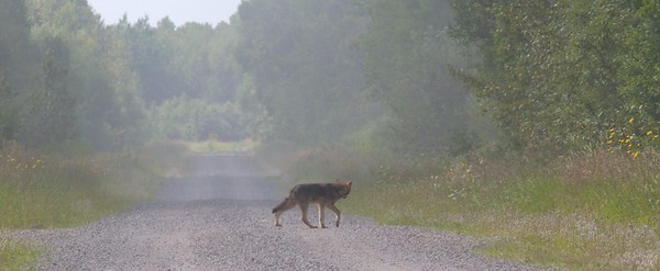 Timber Wolf Canis lupus N-S stretch CR29 Sax-Zim Bog MN  IMG_5732