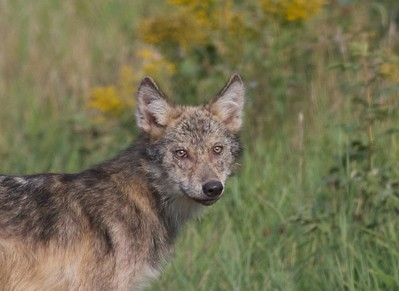 Timber Wolf pup off Arrowhead Trail near N Swamp River Cook Co MN T5184x3456-15784