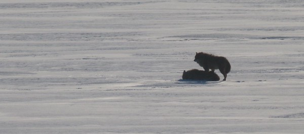 Timber Wolves ice nr WLSSD Duluth MN IMG_0076172