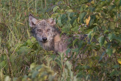 Timber Wolf pup off Arrowhead Trail near N Swamp River Cook Co MN T5184x3456-15772