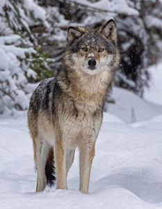 Timber Wolf CR52-Arkola Road just west of Cotton Sax-Zim Bog MN Copy 1 IMGC5973