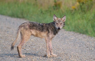Timber Wolf pup off Arrowhead Trail near N Swamp River Cook Co MN T5184x3456-15778