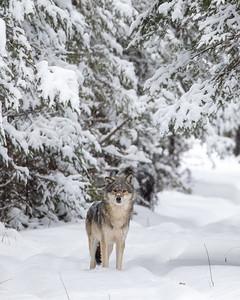 Timber Wolf CR52-Arkola Road just west of Cotton Sax-Zim Bog MN  IMGC5990