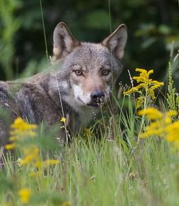 Timber Wolf along MN53 near Saginaw or Twig MN IMG_5747